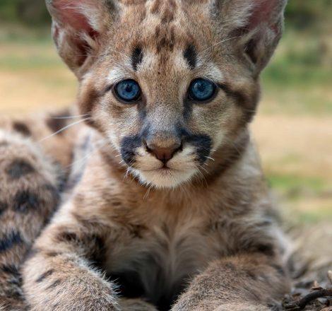 baby-cougar-mountain-lion-or-puma-2UKHP8C-scaled.jpg