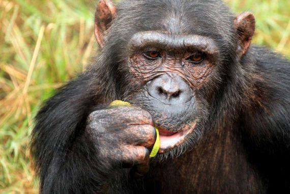 chimpanzee-uganda-BG5RSJV.jpg
