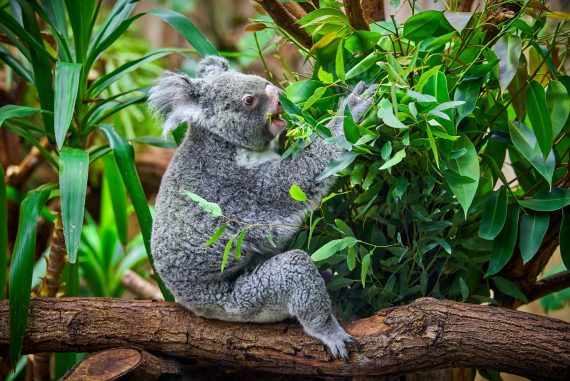 koala-bear-in-the-zoo-PX5YGQL.jpg