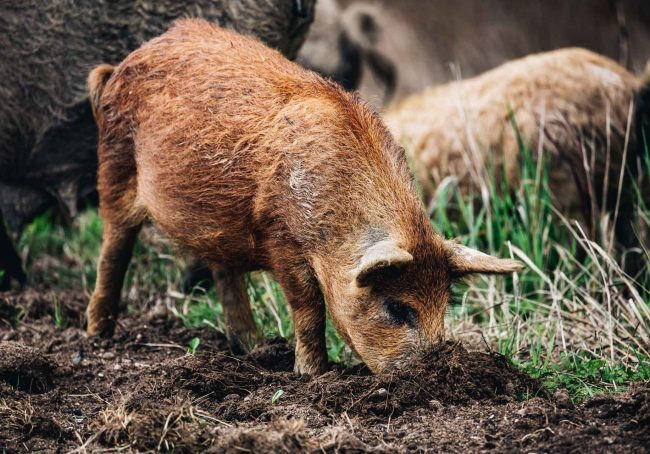 wild-boars-sus-scrofa-animal-family-with-baby-2J53RPM.jpg